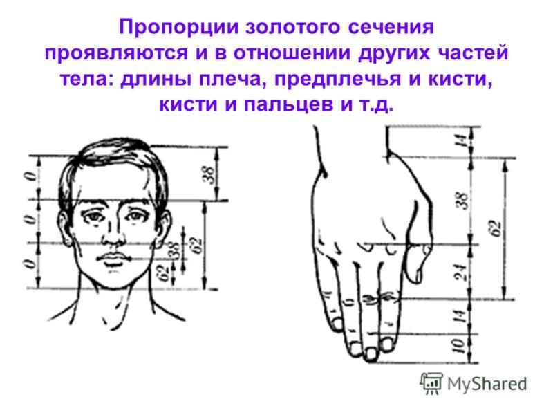 Золотая пропорция в анатомии Золотая пропорция в анатомии У новорожденного пропорция составляет отношение 1 : 1 к 13 годам она равна 1,6 к 21 году равняется мужской Деление тела точкой пупа – важнейший показатель золотого сечения. Пропорции мужского