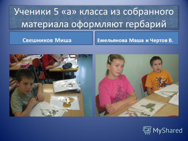 Ученики 5 «а» класса из собранного материала оформляют гербарий Свешников Миша Емельянова Маша и Чертов В.