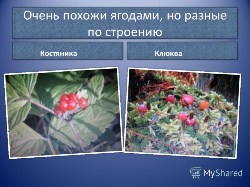 Очень похожи ягодами, но разные по строению Костяника Клюква