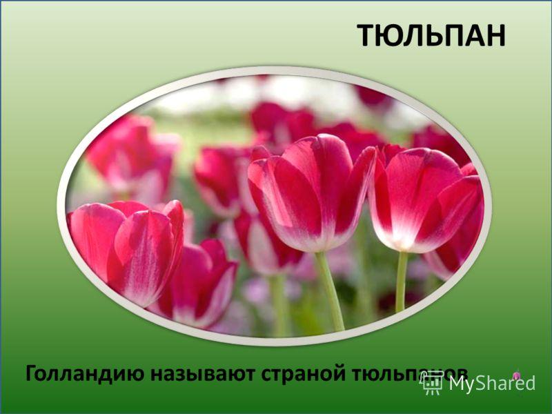 ТЮЛЬПАН Голландию называют страной тюльпанов