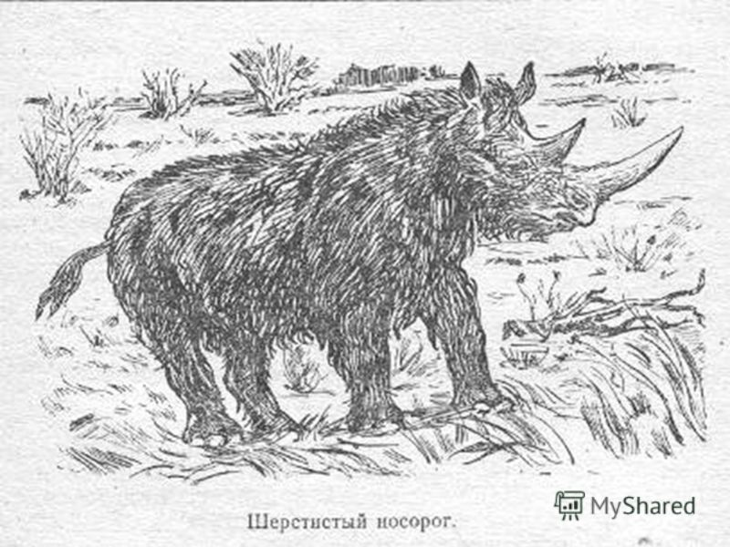 Мамонты и шерстистые носороги распространились до границ современной Италии, расселились на территории нынешней Англии и Сибири.