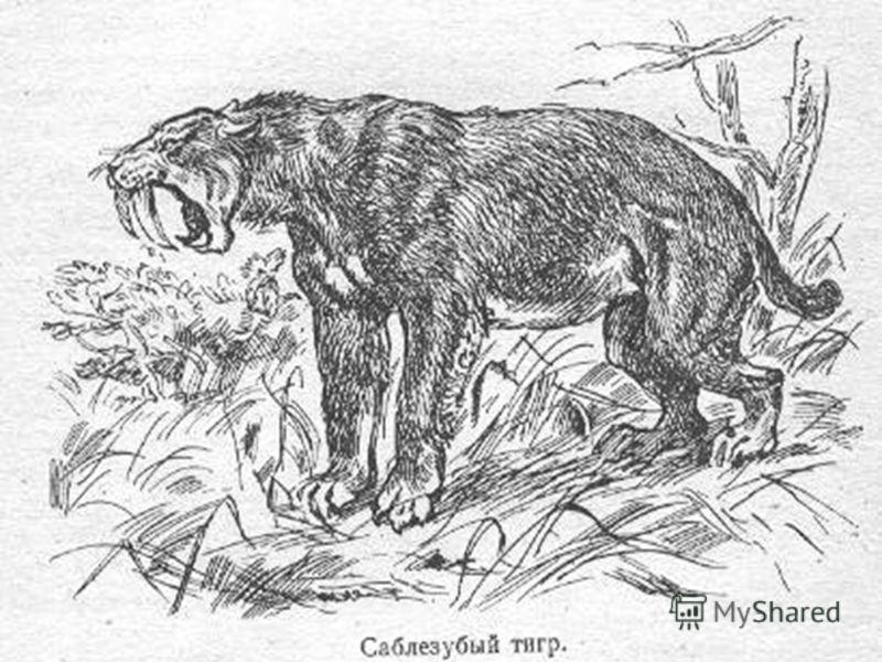 Животное четвертичного периода - громадная саблезубая кошка смилодон