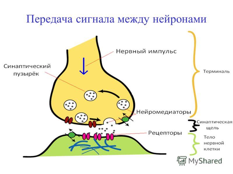 Передача сигнала между нейронами