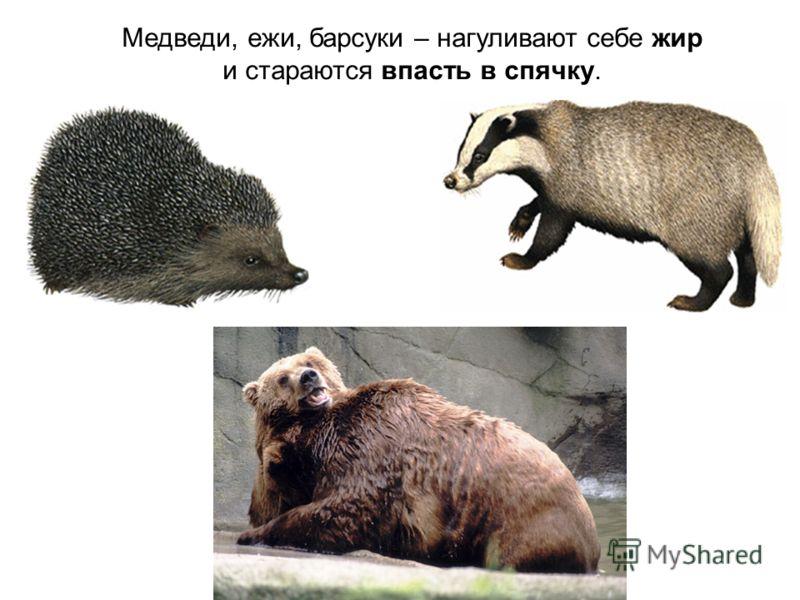 Медведи, ежи, барсуки – нагуливают себе жир и стараются впасть в спячку.