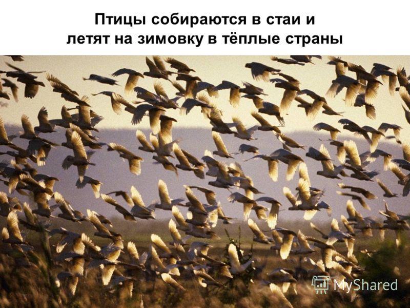 Птицы собираются в стаи и летят на зимовку в тёплые страны