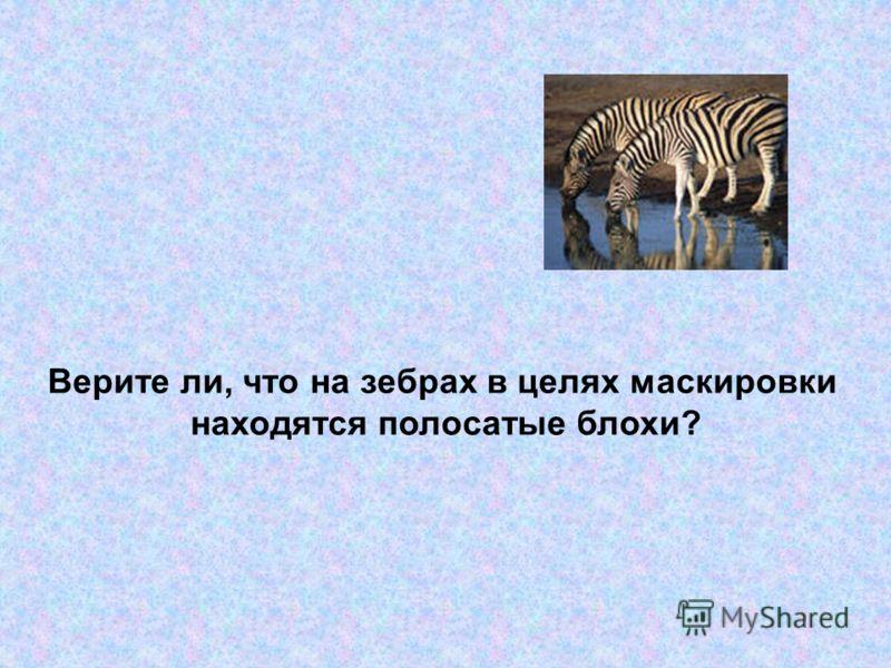Верите ли, что на зебрах в целях маскировки находятся полосатые блохи?