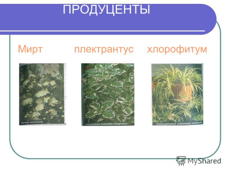 ПРОДУЦЕНТЫ Мирт плектрантус хлорофитум