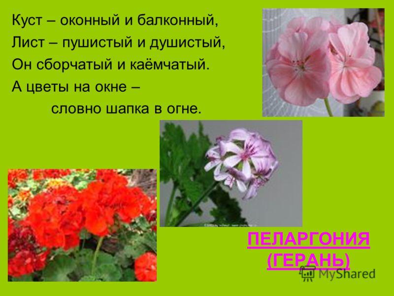 ПЕЛАРГОНИЯ (ГЕРАНЬ) Куст – оконный и балконный, Лист – пушистый и душистый, Он сборчатый и каёмчатый. А цветы на окне – словно шапка в огне.