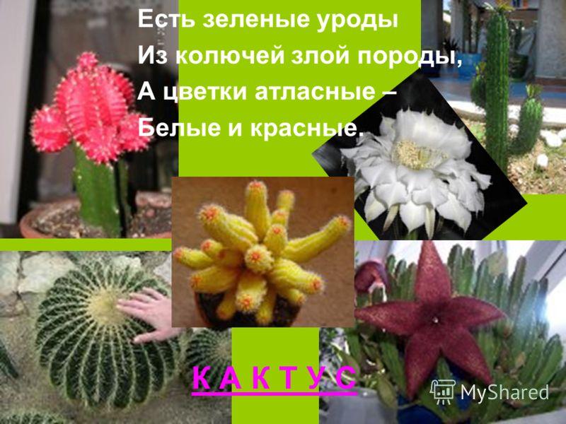 К А К Т У С Есть зеленые уроды Из колючей злой породы, А цветки атласные – Белые и красные.