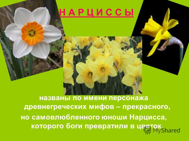 Н А Р Ц И С С Ы названы по имени персонажа древнегреческих мифов – прекрасного, но самовлюбленного юноши Нарцисса, которого боги превратили в цветок.