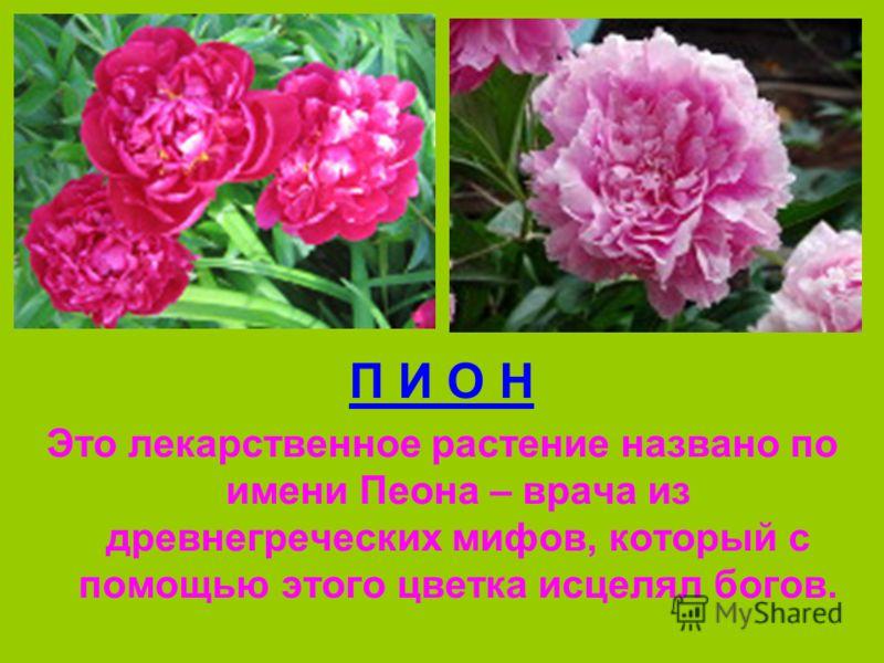 П И О Н Это лекарственное растение названо по имени Пеона – врача из древнегреческих мифов, который с помощью этого цветка исцелял богов.