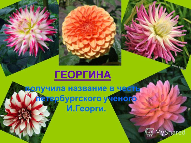 ГЕОРГИНА получила название в честь петербургского ученого И.Георги.