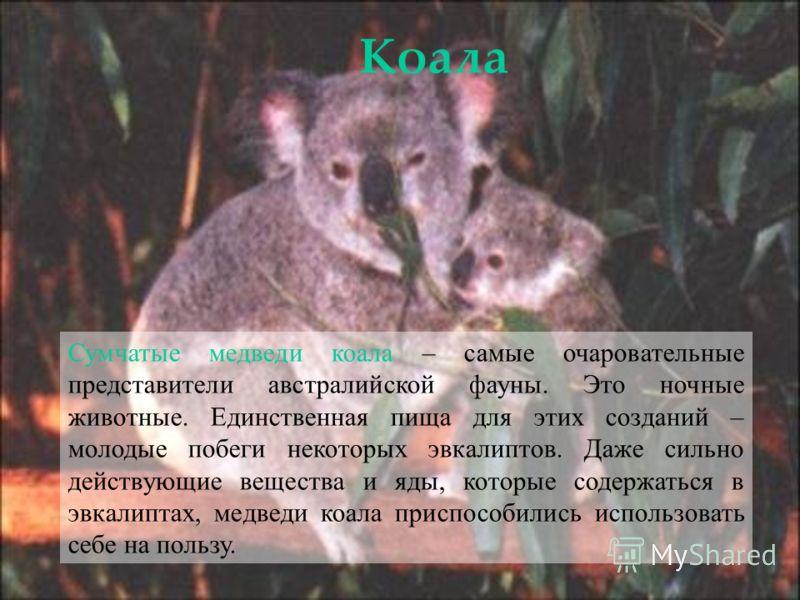 Сумчатые медведи коала – самые очаровательные представители австралийской фауны. Это ночные животные. Единственная пища для этих созданий – молодые побеги некоторых эвкалиптов. Даже сильно действующие вещества и яды, которые содержаться в эвкалиптах,