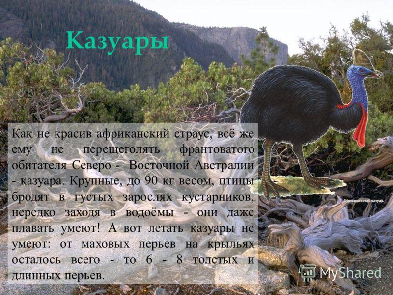 Казуары Как не красив африканский страус, всё же ему не перещеголять франтоватого обитателя Северо - Восточной Австралии - казуара. Крупные, до 90 кг весом, птицы бродят в густых зарослях кустарников, нередко заходя в водоёмы - они даже плавать умеют