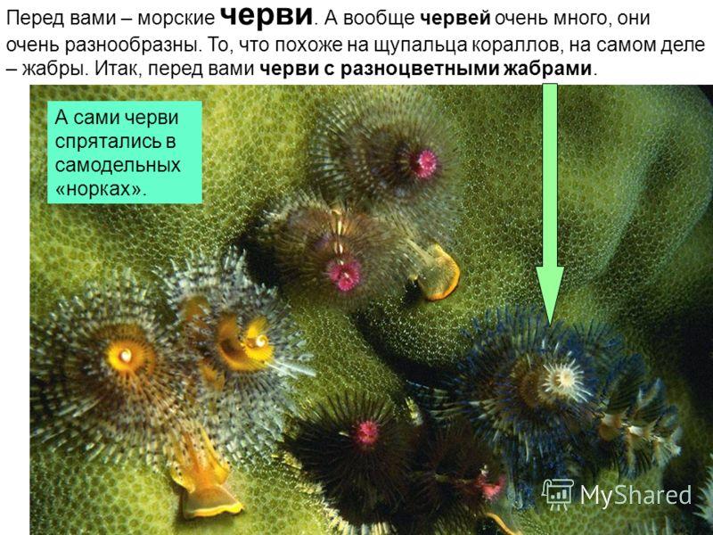 Перед вами – морские черви. А вообще червей очень много, они очень разнообразны. То, что похоже на щупальца кораллов, на самом деле – жабры. Итак, перед вами черви с разноцветными жабрами. А сами черви спрятались в самодельных «норках».