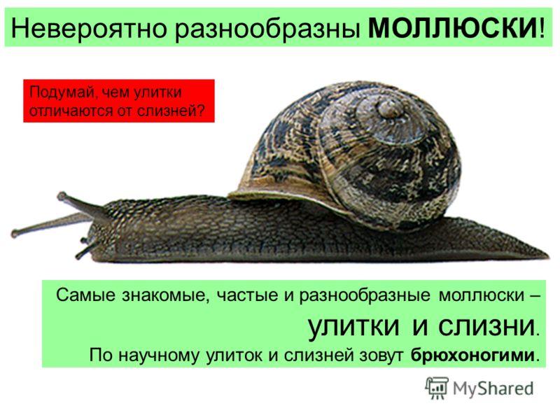 Невероятно разнообразны МОЛЛЮСКИ! Самые знакомые, частые и разнообразные моллюски – улитки и слизни. По научному улиток и слизней зовут брюхоногими. Подумай, чем улитки отличаются от слизней?