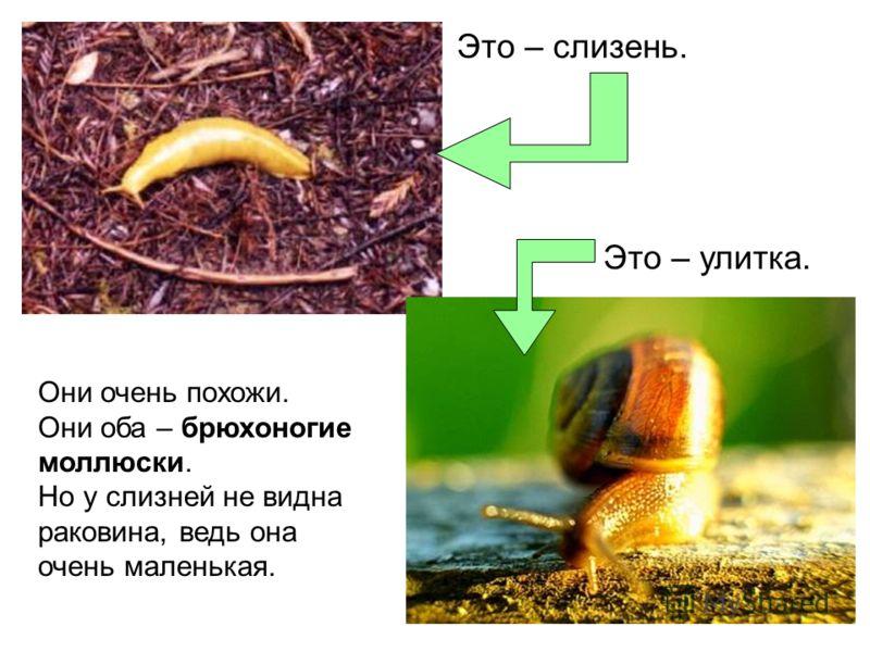 Это – слизень. Это – улитка. Они очень похожи. Они оба – брюхоногие моллюски. Но у слизней не видна раковина, ведь она очень маленькая.