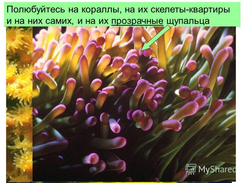 Полюбуйтесь на кораллы, на их скелеты-квартиры и на них самих, и на их прозрачные щупальца