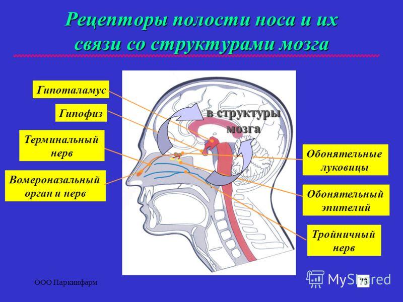 ООО Паркинфарм4 Рецепторы полости носа и их связи со структурами мозга Гипоталамус Гипофиз Вомероназальный орган и нерв Тройничный нерв Терминальный нерв Обонятельные луковицы Обонятельный эпителий в структуры мозга