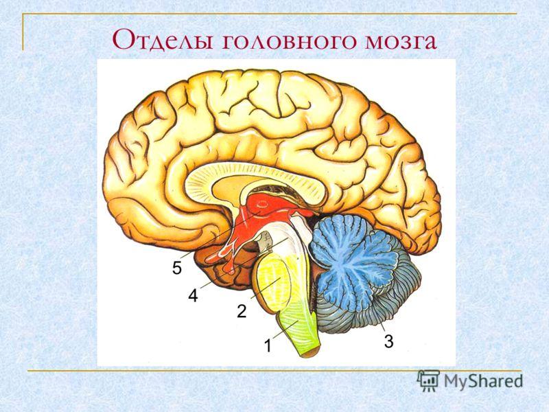 Отделы головного мозга 5 4 2 1 3 5 4 2 1 3