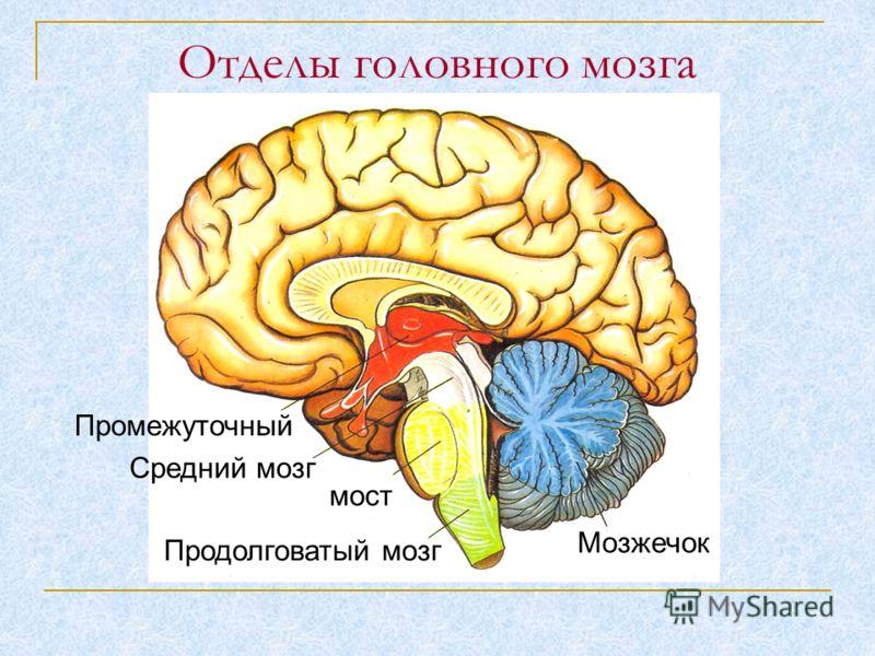 Промежуточный Средний мозг мост Продолговатый мозг Мозжечок