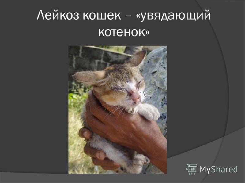 Лейкоз кошек – «увядающий котенок»