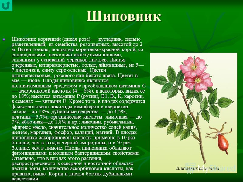 Шиповник Шиповник коричный (дикая роза) кустарник, сильно разветвленный, из семейства розоцветных, высотой до 2 м. Ветви тонкие, покрытые коричнево-красной корой, со сплющенными, несколько изогнутыми шипами, сидящими у оснований черенков листьев. Лис