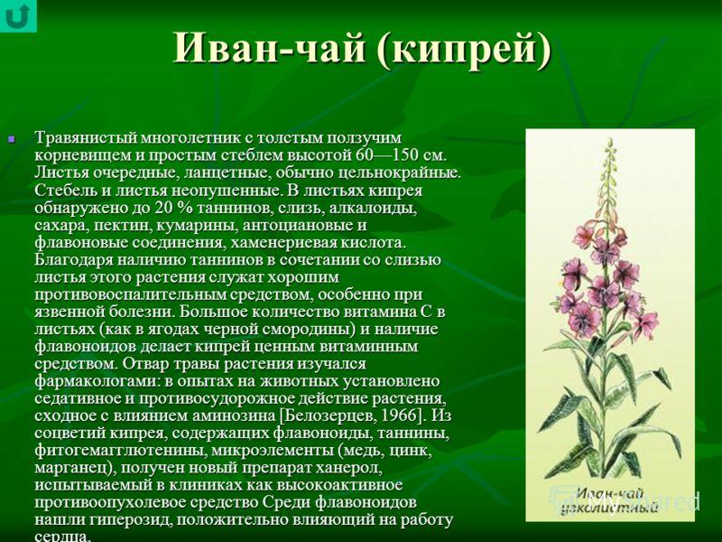 Иван-чай (кипрей) Травянистый многолетник с толстым ползучим корневищем и простым стеблем высотой 60150 см. Листья очередные, ланцетные, обычно цельнокрайные. Стебель и листья неопушенные. В листьях кипрея обнаружено до 20 % таннинов, слизь, алкалоид