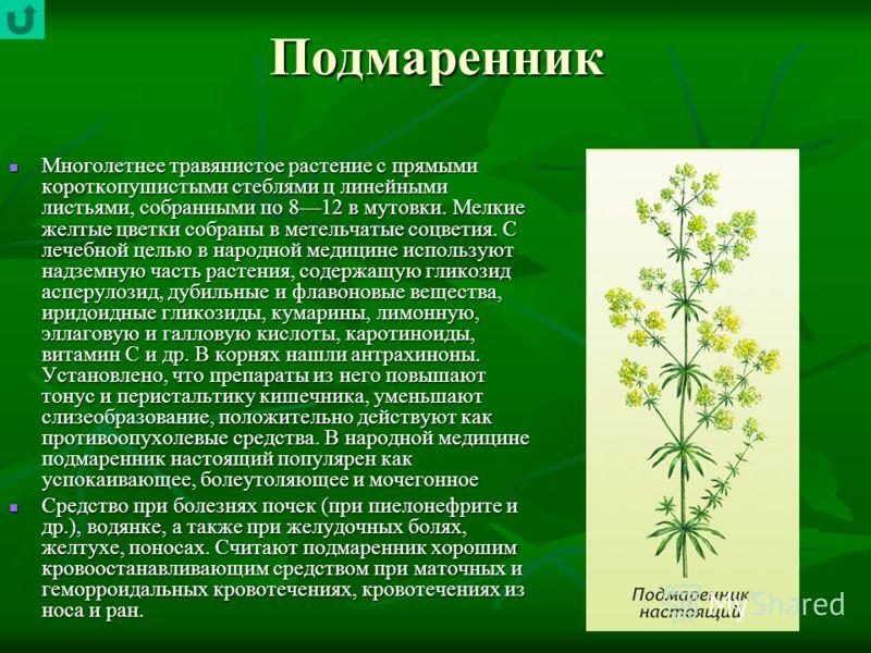 Подмаренник Многолетнее травянистое растение с прямыми короткопушистыми стеблями ц линейными листьями, собранными по 812 в мутовки. Мелкие желтые цветки собраны в метельчатые соцветия. С лечебной целью в народной медицине используют надземную часть р