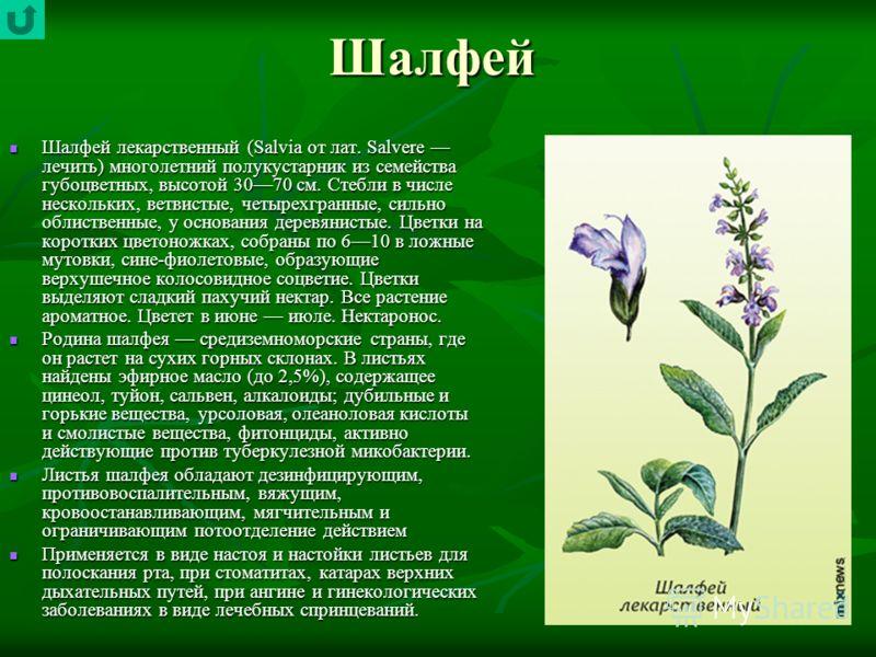 Шалфей Шалфей лекарственный (Salvia от лат. Salvere лечить) многолетний полукустарник из семейства губоцветных, высотой 3070 см. Стебли в числе нескольких, ветвистые, четырехгранные, сильно облиственные, у основания деревянистые. Цветки на коротких ц