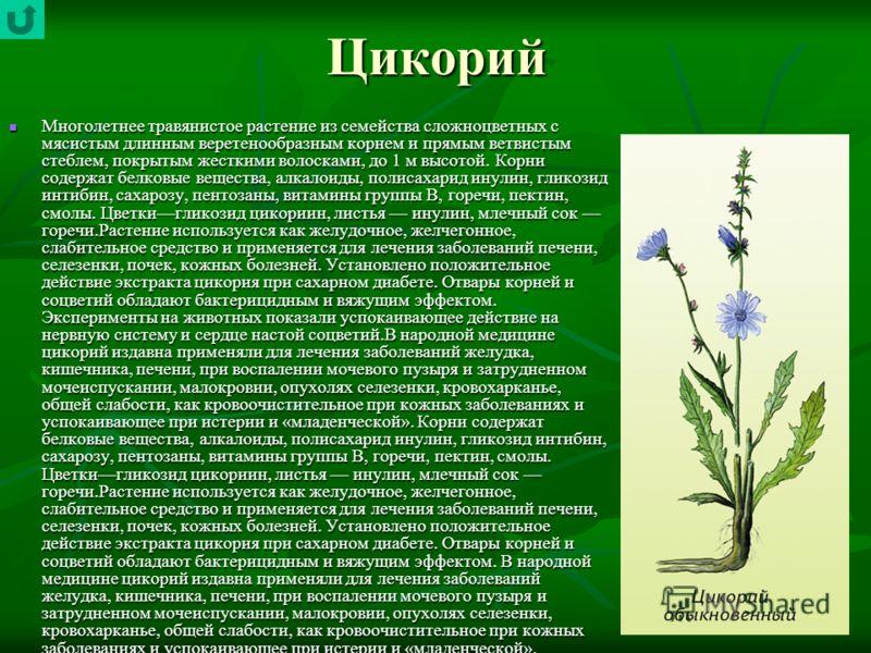 Цикорий Многолетнее травянистое растение из семейства сложноцветных с мясистым длинным веретенообразным корнем и прямым ветвистым стеблем, покрытым жесткими волосками, до 1 м высотой. Корни содержат белковые вещества, алкалоиды, полисахарид инулин,