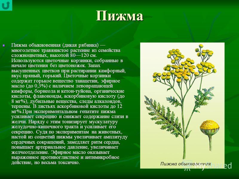 Пижма Пижма обыкновенная (дикая рябинка) многолетнее травянистое растение из семейства сложноцветных, высотой 80120 см. Используются цветочные корзинки, собранные в начале цветения без цветоножек. Запах высушенных цветков при растирании камфорный, вк