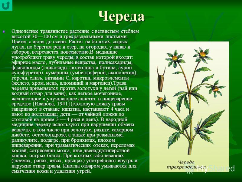Череда Однолетнее травянистое растение с ветвистым стеблем высотой 30100 см и трехраздельными листьями. Цветет с июня до осени. Растет на болотах, сырых лугах, по берегам рек и озер, на огородах, у канав и заборов, встречается повсеместно.В медицине