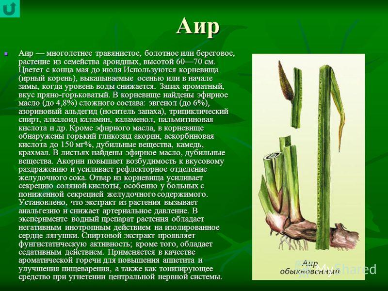 Аир Аир многолетнее травянистое, болотное или береговое, растение из семейства ароидных, высотой 6070 см. Цветет с конца мая до июля Используются корневища (ирный корень), выкапываемые осенью или в начале зимы, когда уровень воды снижается. Запах аро