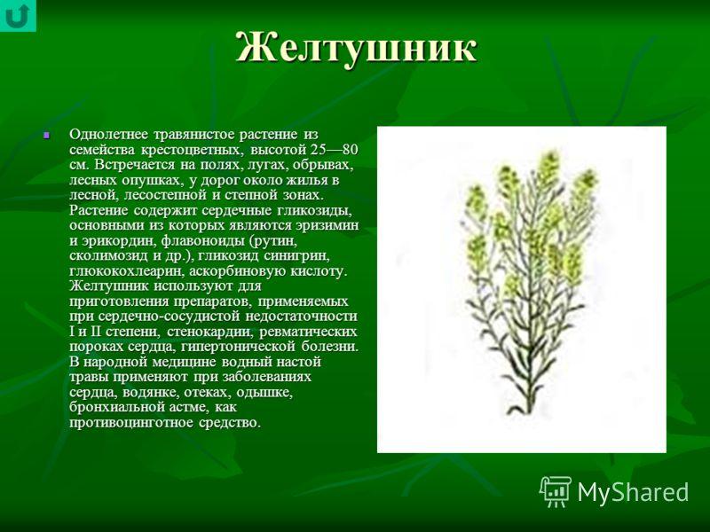 Желтушник Однолетнее травянистое растение из семейства крестоцветных, высотой 2580 см. Встречается на полях, лугах, обрывах, лесных опушках, у дорог около жилья в лесной, лесостепной и степной зонах. Растение содержит сердечные гликозиды, основными и