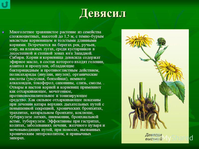 Девясил Многолетнее травянистое растение из семейства сложноцветных, высотой до 1,5 м, с темно-бурым мясистым корневищем и толстыми длинными корнями. Встречается на берегах рек, ручьев, озер, на влажных лугах, среди кустарников в лесостепной и степн