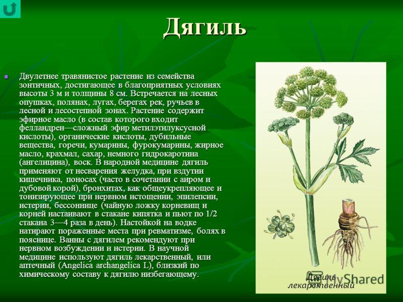 Дягиль Двулетнее травянистое растение из семейства зонтичных, достигающее в благоприятных условиях высоты 3 м и толщины 8 см. Встречается на лесных опушках, полянах, лугах, берегах рек, ручьев в лесной и лесостепной зонах. Растение содержит эфирное м