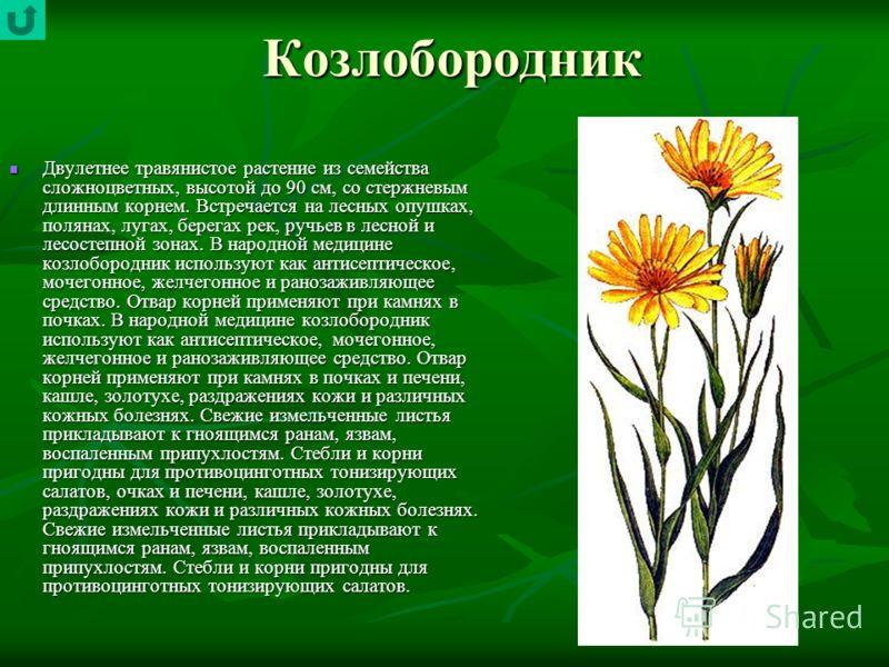 Козлобородник Двулетнее травянистое растение из семейства сложноцветных, высотой до 90 см, со стержневым длинным корнем. Встречается на лесных опушках, полянах, лугах, берегах рек, ручьев в лесной и лесостепной зонах. В народной медицине козлобородни
