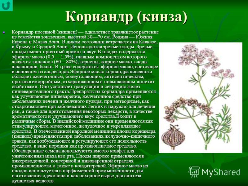 Кориандр (кинза) Кориандр посевной (кишнец) однолетнее травянистое растение из семейства зонтичных, высотой 3070 см. Родина Южная Европа и Малая Азия. В диком состоянии встречается на Кавказе, в Крыму и Средней Азии. Используются зрелые-плоды. Зрелые