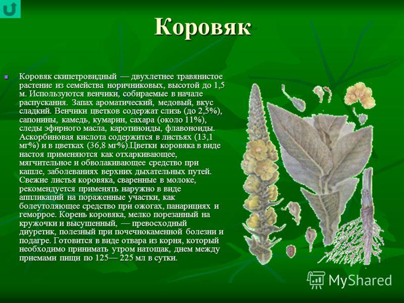 Коровяк Коровяк скипетровидный двухлетнее травянистое растение из семейства норичниковых, высотой до 1,5 м. Используются венчики, собираемые в начале распускания. Запах ароматический, медовый, вкус сладкий. Венчики цветков содержат слизь (до 2,5%), с