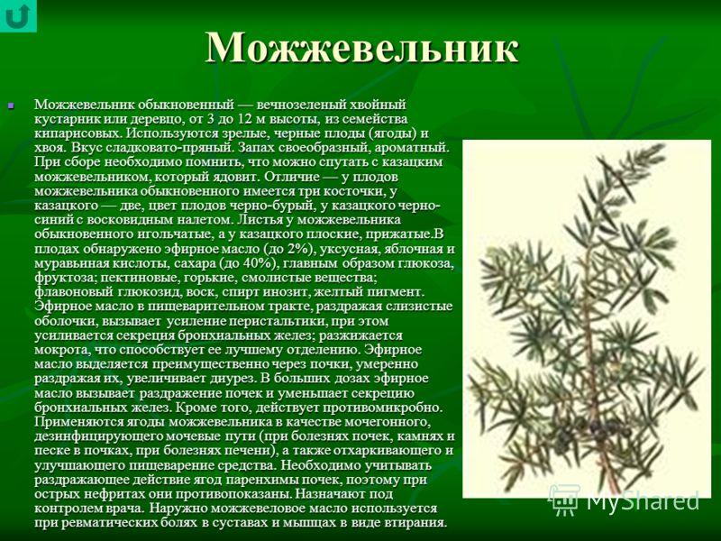 Можжевельник Можжевельник обыкновенный вечнозеленый хвойный кустарник или деревцо, от 3 до 12 м высоты, из семейства кипарисовых. Используются зрелые, черные плоды (ягоды) и хвоя. Вкус сладковато-пряный. Запах своеобразный, ароматный. При сборе необх