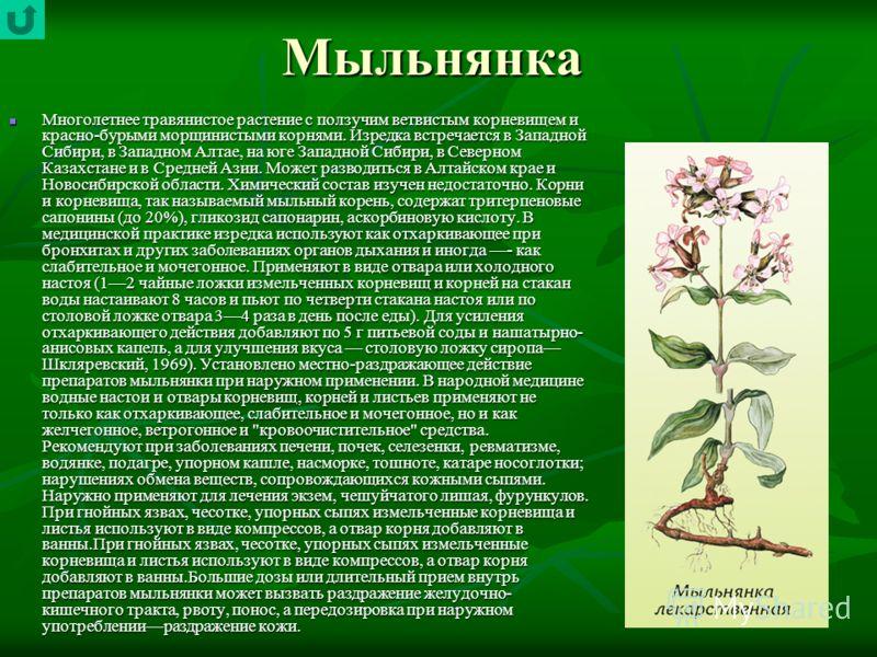 Мыльнянка Многолетнее травянистое растение с ползучим ветвистым корневищем и красно-бурыми морщинистыми корнями. Изредка встречается в Западной Сибири, в Западном Алтае, на юге Западной Сибири, в Северном Казахстане и в Средней Азии. Может разводитьс