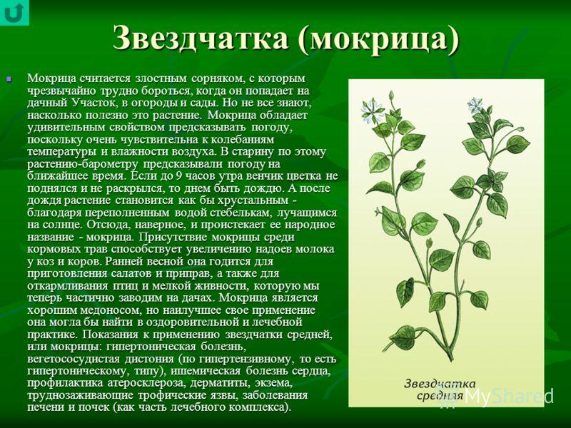 Звездчатка (мокрица) Мокрица считается злостным сорняком, с которым чрезвычайно трудно бороться, когда он попадает на дачный Участок, в огороды и сады. Но не все знают, насколько полезно это растение. Мокрица обладает удивительным свойством предсказы