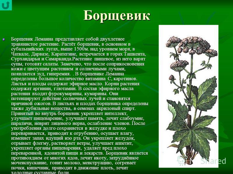 Борщевик Борщевик Леманна представляет собой двухлетнее травянистое растение. Растёт борщевик, в основном в субальпийских лугах, выше 1500м. над уровнем моря, в Чаткале, Дарвазе, Каратегине, встречается в горах Ташкента, Сурхандарьи и Самарканда.Раст