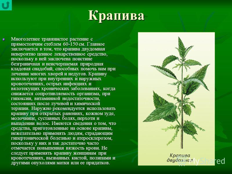 Крапива Многолетнее травянистое растение с прямостоячим стеблем 60-150 см. Главное заключается в том, что крапива двудомная невероятно ценное лекарственное средство, поскольку в ней заключена поистине безграничная и неисчерпаемая природная кладовая с