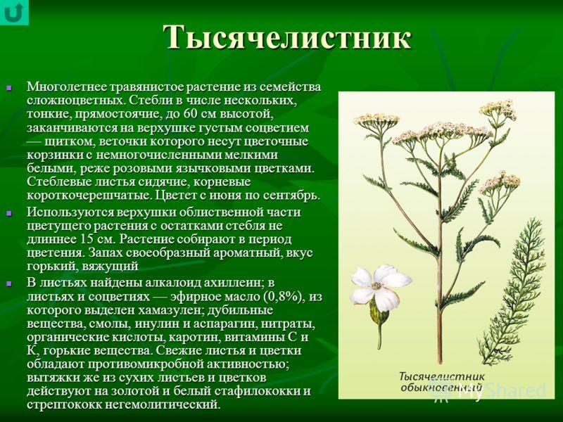 Тысячелистник Многолетнее травянистое растение из семейства сложноцветных. Стебли в числе нескольких, тонкие, прямостоячие, до 60 см высотой, заканчиваются на верхушке густым соцветием щитком, веточки которого несут цветочные корзинки с немногочислен