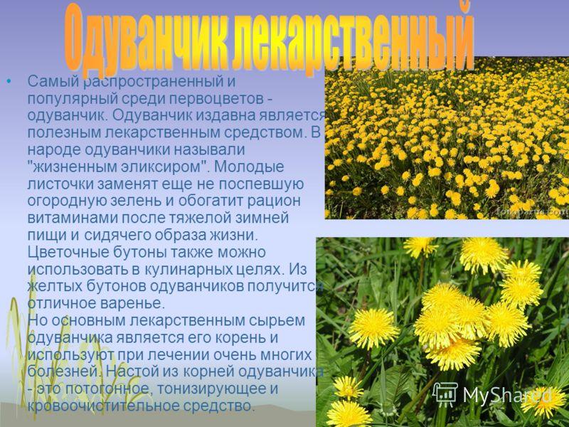 Самый распространенный и популярный среди первоцветов - одуванчик. Одуванчик издавна является полезным лекарственным средством. В народе одуванчики называли