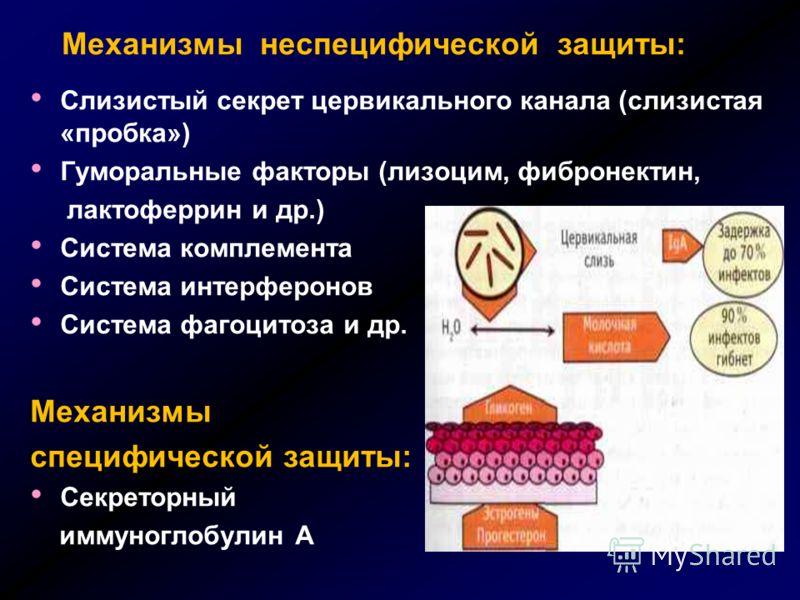 Механизмы неспецифической защиты: Слизистый секрет цервикального канала (слизистая «пробка») Гуморальные факторы (лизоцим, фибронектин, лактоферрин и др.) Система комплемента Система интерферонов Система фагоцитоза и др. Механизмы специфической защит