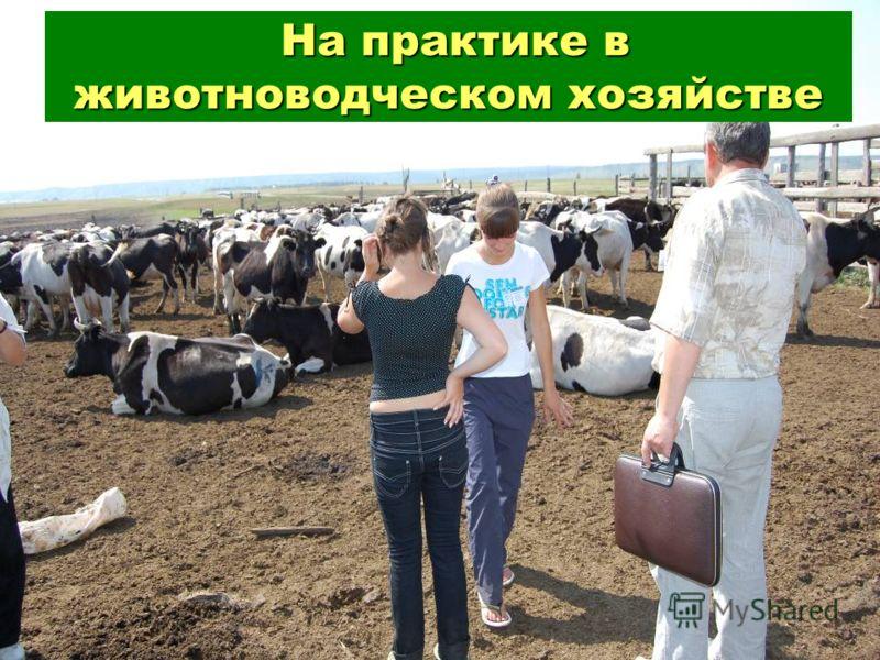 На практике в животноводческом хозяйстве На практике в животноводческом хозяйстве