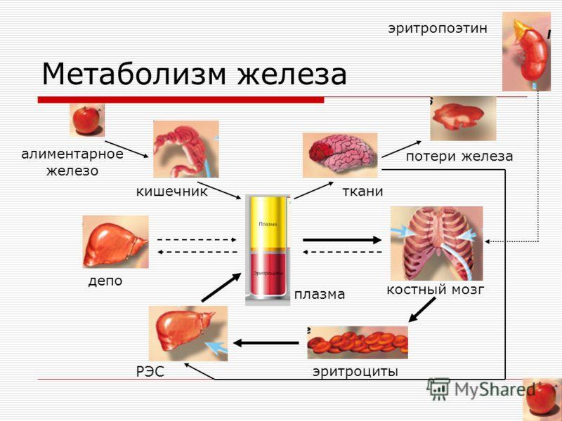 Метаболизм железа потери железа алиментарное железо кишечникткани депо плазма костный мозг РЭС эритроциты эритропоэтин